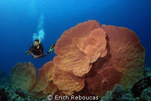 Think big... big sea fans! by Erich Reboucas