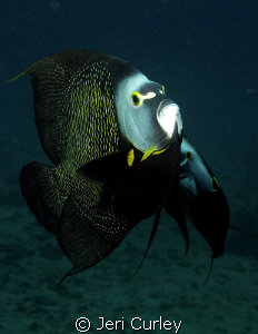 A group of French Angelfish got friendly during a dive of... by Jeri Curley