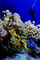 Observing the clown fish Red sea 2004 Sea&Sea NX100 Nik... by Gavin Skipp