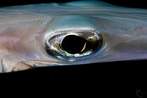 Cornet-Fish Eye. From my yesterday's nightdive. Canon 40D... by Rico Besserdich