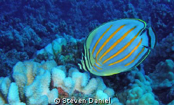 Ornate Butterfly Fish by Steven Daniel