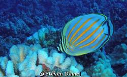 Ornate Butterfly Fish by Steven Daniel