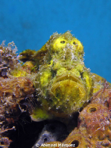 Rewarding encounter with a Yellow Frogfish. by Abimael Márquez