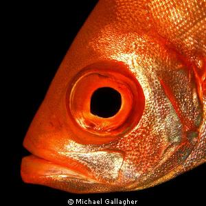 Big Eye, Seychelles by Michael Gallagher