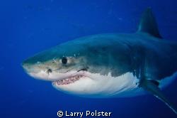 Great White diving from cages in Guadalupe Island, Mexico... by Larry Polster