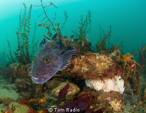 Lingcod guarding eggs