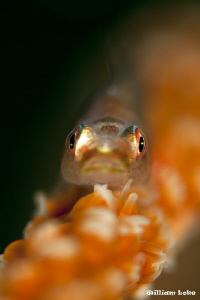In The Face of a Whip Goby by William Loke