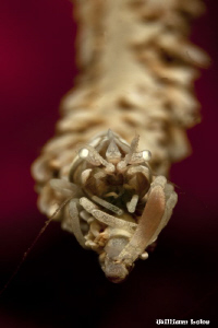 In The Face of a WhipCoral Shrimp by William Loke