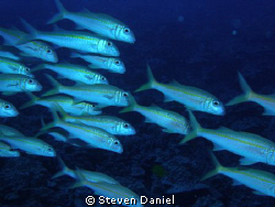 HAWAIIAN GOAT FISH SCHOOLING OF AIRPORT POINT IN KONA,HAW... by Steven Daniel