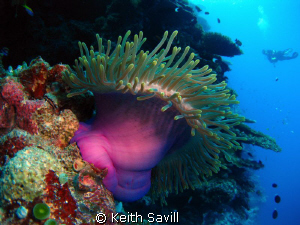 Magnificent Anenomies - so beautiful. Just a shame the in... by Keith Savill