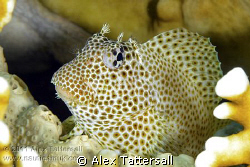 Leopard Blenny, Jackson Reef, Nauticam NA-D7000, 105mm VR... by Alex Tattersall