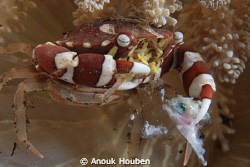 Crab enjoying its lunch by Anouk Houben