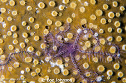 Brittle star on coral, nikon d7000, 60mm macro, ikelite h... by Boz Johnson