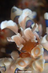 Harlequin shrimp up close and personal. by Anouk Houben