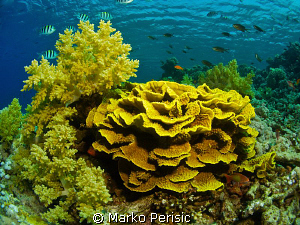 RED SEA REEF by Marko Perisic