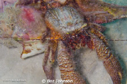 Very large hermit crab. Nikon d7000, 60mm macro, ikelite ... by Boz Johnson