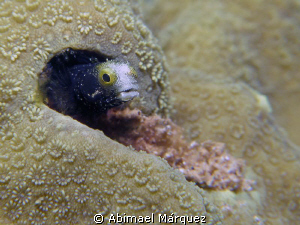 Spinyhead Blenny by Abimael Márquez