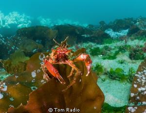 Graceful Kelp Crab Seattle, WA, U.S.A. by Tom Radio