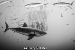 A little perspective of Great White and the diving cages ... by Larry Polster