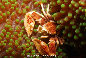 Porcelain crab in a green anemone :) by Erich Reboucas