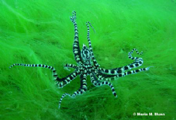 Amazing encounter with a mimic octopus.  Taken with Canon... by Maria Munn