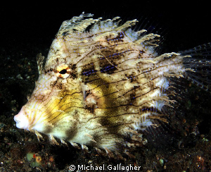 Leafy filefish - another weird and wonderful Lembeh critter. by Michael Gallagher