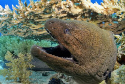 Giant Moray on Shark Reef, Nauticam NA-D7000, 10-17mm Tok... by Alex Tattersall