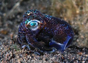 Bobtail squid Nikon D200, 60 micro , two strbo Lembeh s... by Marchione Giacomo