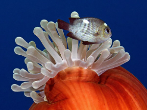 """""""False Nemo""""  Close up of a closed anemone with a damse... by Henry Jager"""
