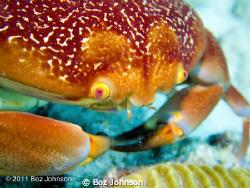 Crab. Olympus pen, Olympus housing, inon strobe, light in... by Boz Johnson