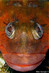 Territorial male of the species Labrisomus nuchipinnis. H... by Helena Encarnação