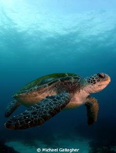 Green Sea Turtle, Byron Bay, Australia by Michael Gallagher
