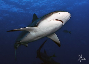 Reef Sharks swim in packs and the largest are rightfully ... by Steven Anderson
