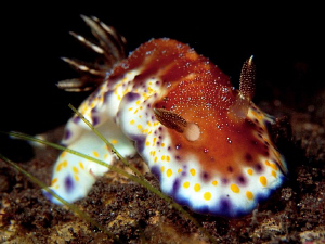Chromodoris collingwoodi, Tulamben by Doug Anderson