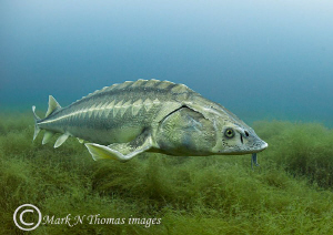 Diamond sturgeon.