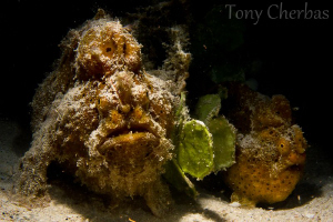 """The weather outside is frightful..."" Santa Frogfish and ... by Tony Cherbas"