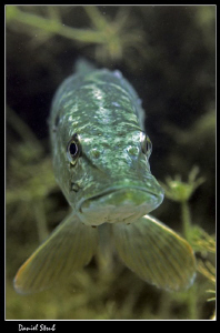 King Pike in his pond :-D by Daniel Strub