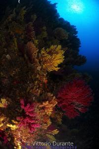 Mediterranean gorgonians by Vittorio Durante