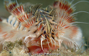 Red Tipped Fireworm close up on face. .. notice, the mout... by Suzan Meldonian