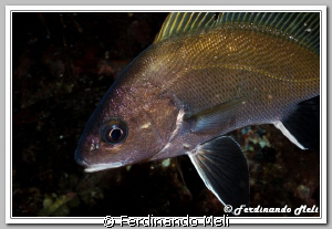 Sciaena umbra. A fish elegant but very shy and difficult ... by Ferdinando Meli