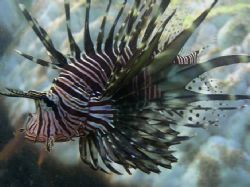 Lion fish-shot snorkeling with late afternoon light. Isle... by Don Bruschera