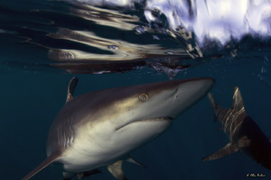 Black tip shark, close up with amazing reflections in the... by Allen Walker