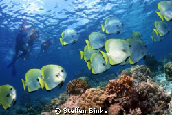 Snorkeling wit Batfish's by Steffen Binke