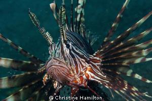 Lionfish by Christine Hamilton
