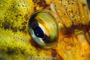 Three-stripe rock-fish by Boris Pamikov