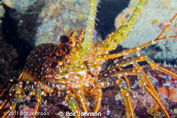 spotted lobster, Nikon d7000, 60mm macro, ikelite housing by Boz Johnson
