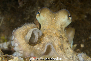 One of the cutest octopus I've had pleasure of meeting. by Suzan Meldonian