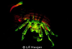 Fluorescent Hermit crab glowing in the dark - by using gl... by Lill Haugen