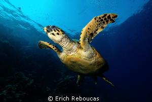 Hawksbill turtle by Erich Reboucas