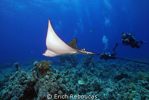 Eagle ray and divers by Erich Reboucas